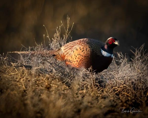 Klamathbirds Pheasant Photography Art | Barb Gonzalez Photography