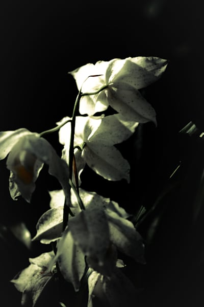bashful beauty II - floral photography