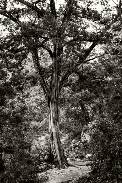Tree at Hamilton Pool