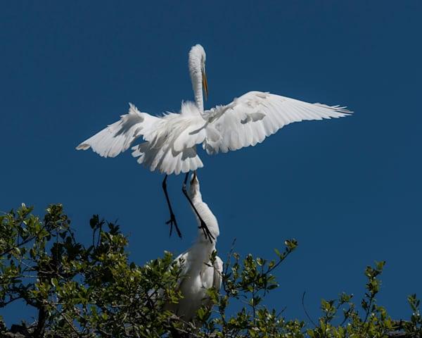 Egret in flight landing