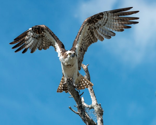 Photography By Festine Osprey getting ready to take flight