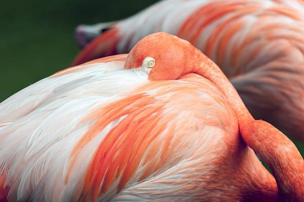 Photography By Festine Pink Flamingo cuddled up