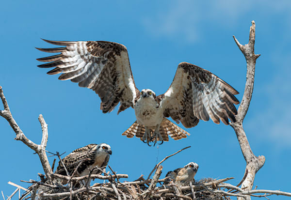 Photography By Festine Osprey landing in nest