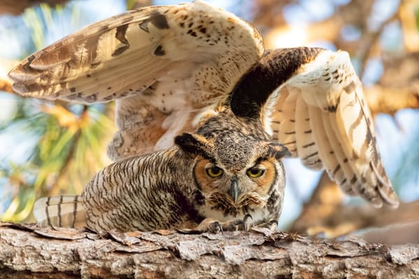 WIngs and Talons of the Great Horned Owl