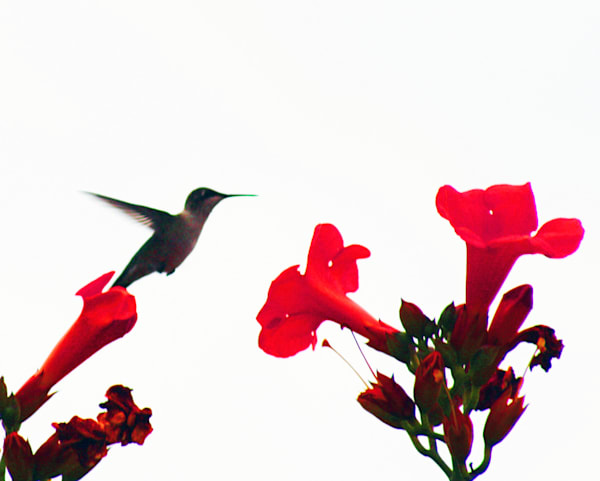Hummingbird With Flowers Art | ARTHOUSEarts