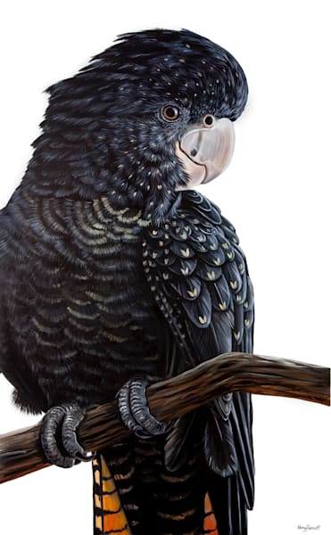 Polly - Red-tailed Black Cockatoo