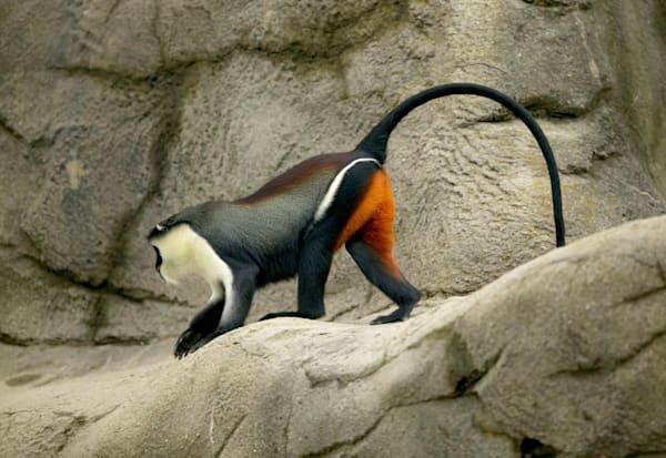 Diana Monkey Art | DocSaundersPhotography