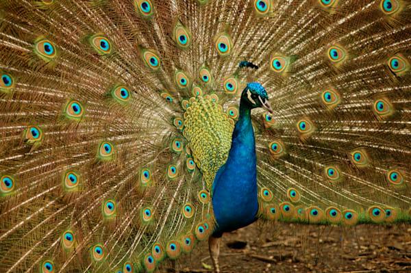 Peacock Art | DocSaundersPhotography
