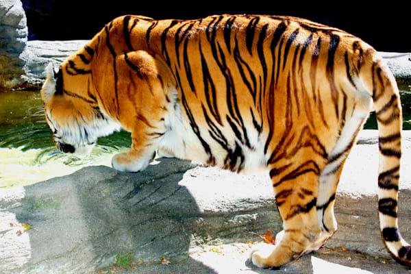 Tiger Drink Art | DocSaundersPhotography