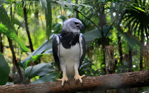 Harpy Eagle Art | DocSaundersPhotography