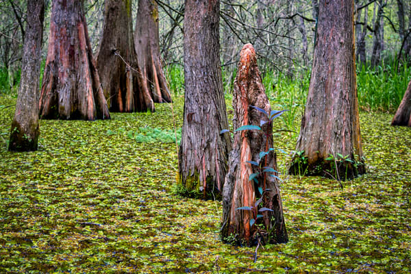Knee high in the swamp - Louisiana fine-art photography prints