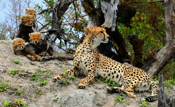 Cheetah Mom And Cubs 9 Art | DocSaundersPhotography
