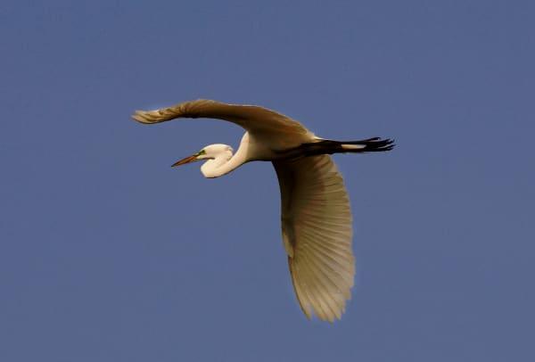Egret In Flight  Art   DocSaundersPhotography