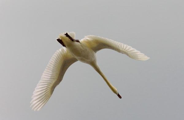 Swan In Flight Art   DocSaundersPhotography