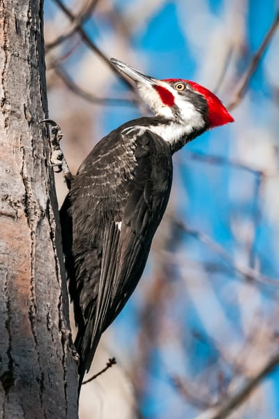 Pileated Woodpecker Photography Art | Monteux Gallery