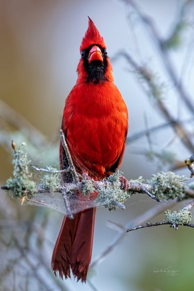 The Flaming Red Cardinal