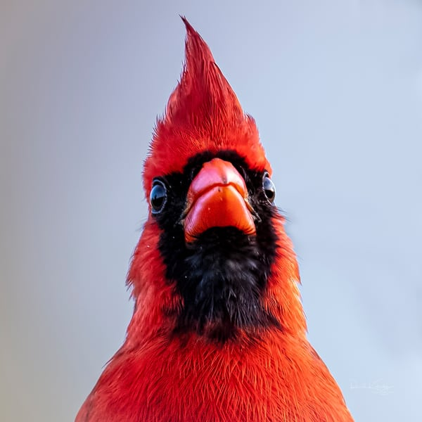 Flaming Red Head of the Cardinal