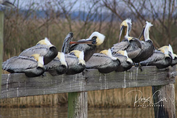 Pelicans on Lake Road