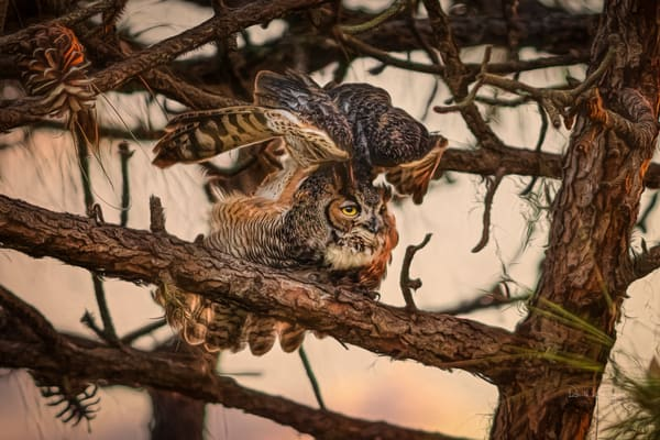 Great Horned Owls of the Pines