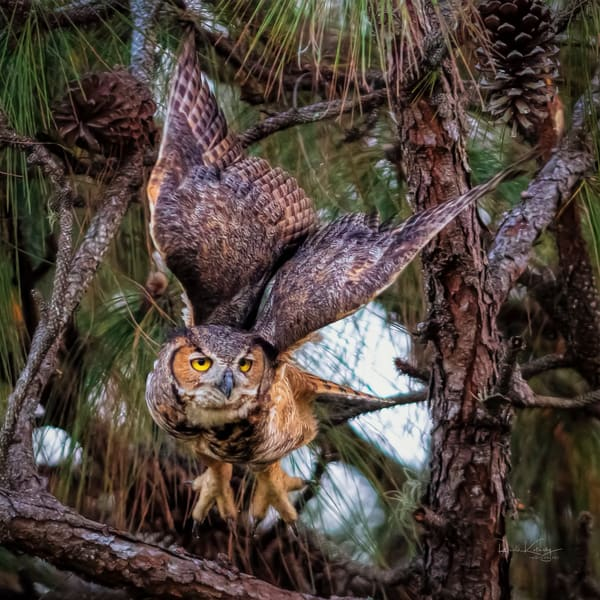 Wings of the Great Horned Owl