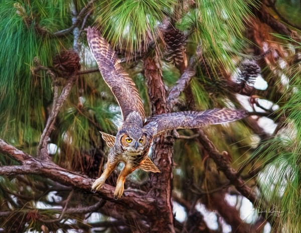 Flight of the Great Horned Owl