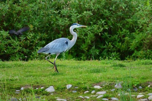 Great Blue Heron Strutting About - Southeast Idaho Wildlife Photographs - The Elegant Dance - Fine Art Prints on Metal, Canvas, Paper & More By Kevin Odette Photography