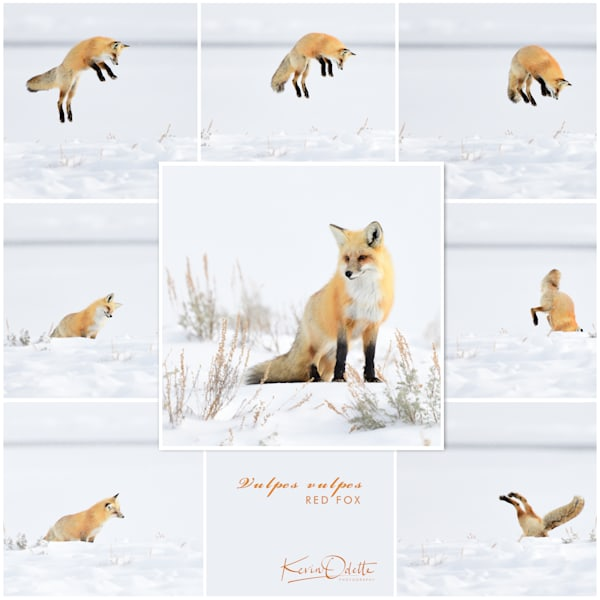 Jumping Fox - Going Under - Wyoming Wildlife Photographs - Yellowstone National Park - Fine Art Prints on Metal, Canvas, Paper & More By Kevin Odette Photography