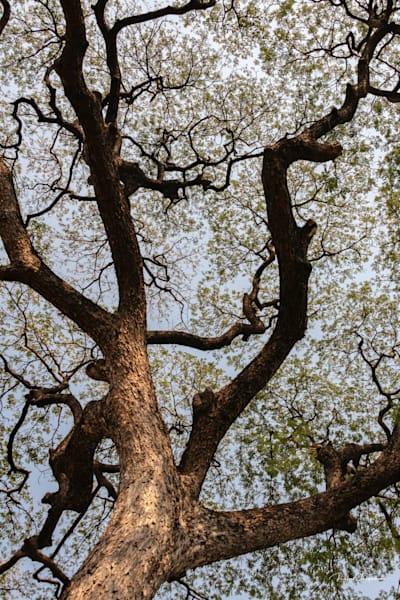 Great Tree | Thailand Series | Shop Prints | Robert Shugarman Photography