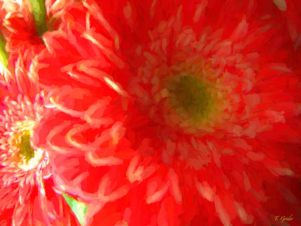 PINK AND RED GERBERA BLOSSOMS
