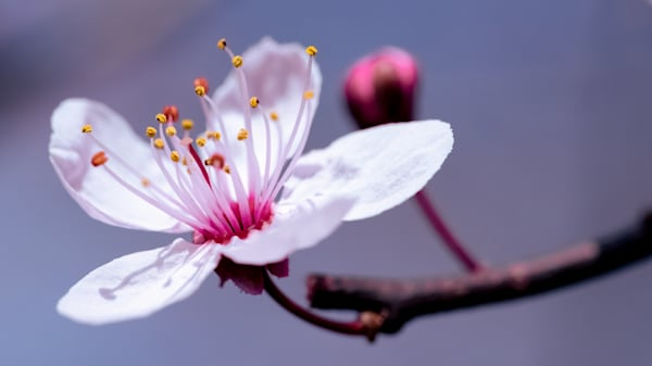 First Cherry Blossom Photograph for Sale as Fine Art