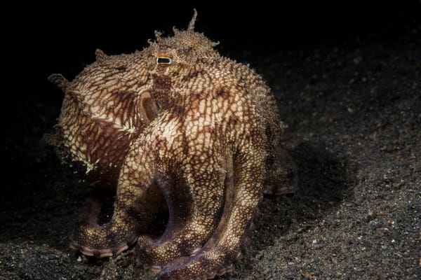 Coconut Octopus, Lembeh Strait, Indonesia