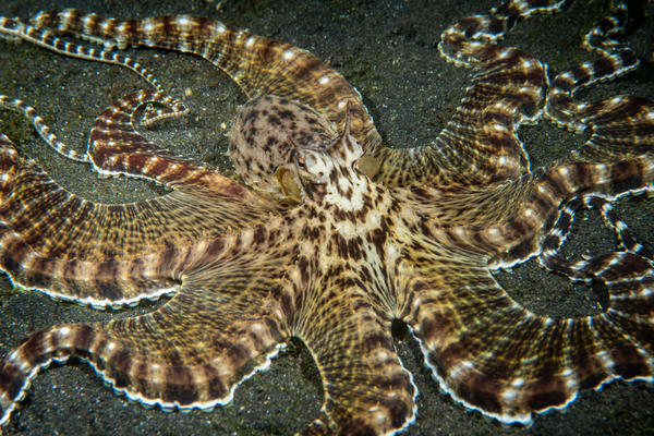 Mimic Octopus, Lembeh Strait, Indonesia