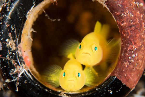 Yellow Pygmy Gobies, Lembeh Strait, Indonesia