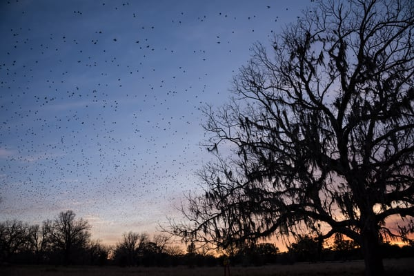 Flock of Blackbirds at Sunset, Damon, Texas