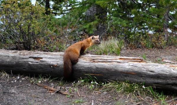 Short Legged Red Fox  Art | DocSaundersPhotography