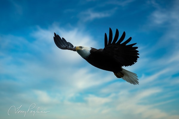 Majestic Eagle Art | Tony Pagliaro Gallery