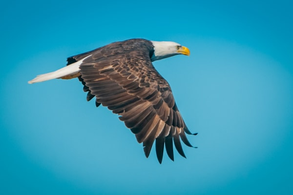 Eagle In Flight Photography Art | Monteux Gallery