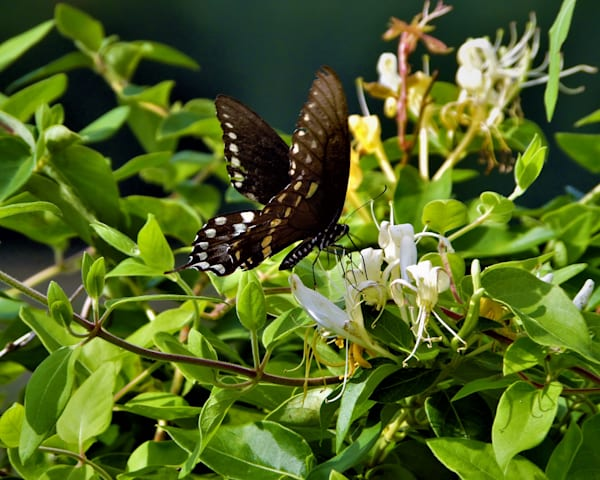GAttanasio-Butterfly-Honeysuckle