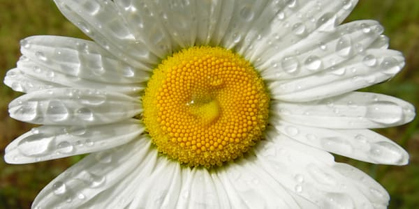 GAttanasio-Daisy
