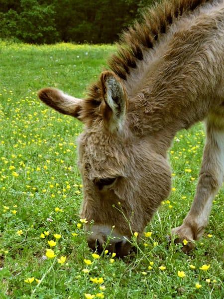 GAttanasio-Donkey-Wildflowers