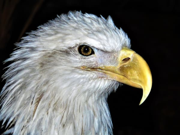 GAttanasio-Eagle