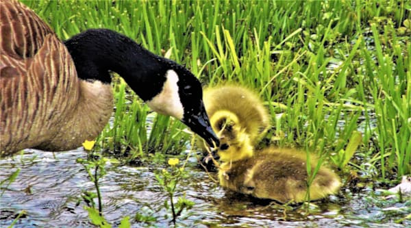 GAttanasio-Mama-with-Ducklings