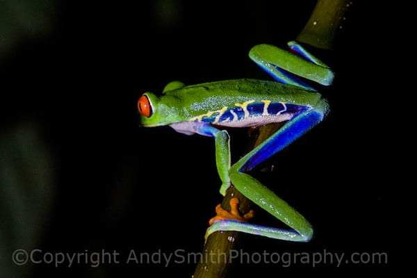 fine art photograph of Red-eyed Leaf Frog, Agalychnis callidryas,