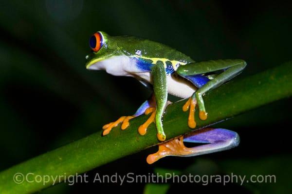 Red-eyed Leaf Frog, Agalychnis callidryas, resting
