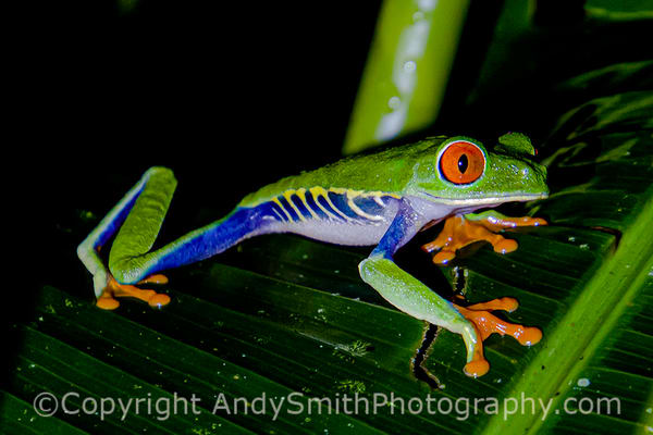 Red-eyed Leaf Frog, Agalychnis callidryas, looking