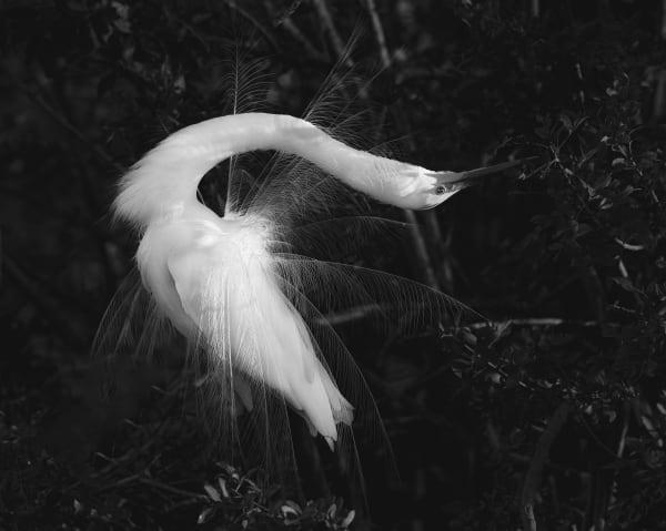 Photography By Festine egret stretching