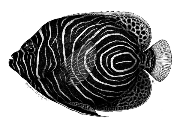 "Emperor Angelfish | Kristin Moger ""Seriously Fun Art"""