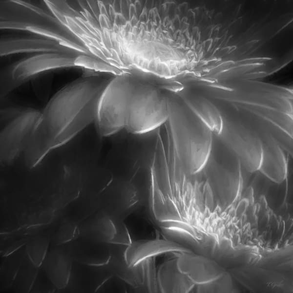 GHOSTLY SHADES OF GRAY GERBERAS SQUARE