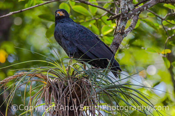 Common Black Hawk, Buteogallus anthrcinus, was sitting beside the Tarcoles River in Costa Rica