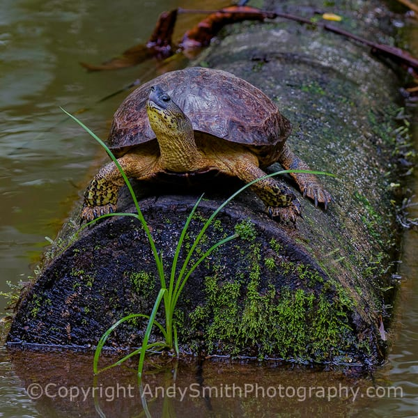 fine art photogrpah of Black River Turtle, Rhinoclemnys funera